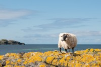 Sheep on the beach. Iona