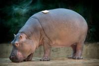 Hippopotamus, bread.